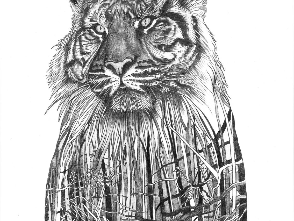 Sumatran tiger pencil drawing by Paul Kingsley Squire
